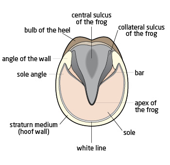 image of hoof anatomy